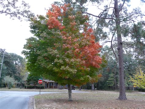 chagne colored tree trees for fall color 187 newsletters