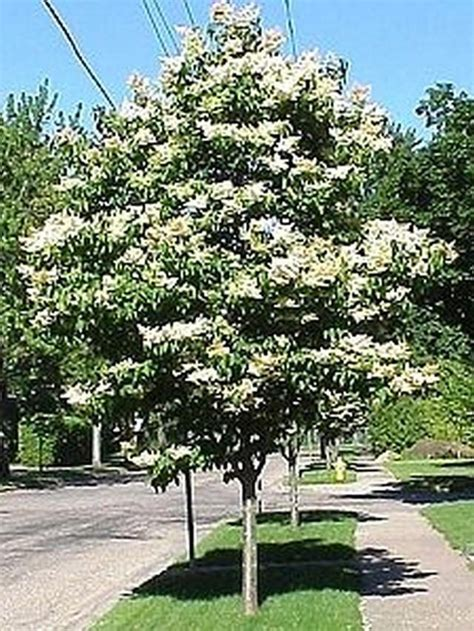 lilac tree information ivory silk japanese tree lilac gardening pinterest