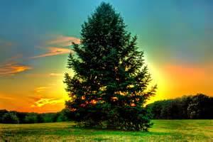 The Pine Tree sun pine tree edward