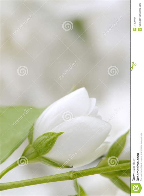 Wedding Picher by Wedding Background With White Flowers Stock Image