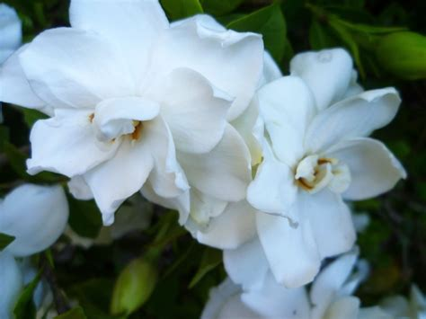 fragrant trees with white flowers gardenia kiyanti2008 s weblog