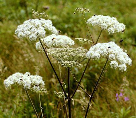 angelica propagation   propagate angelica herb plants