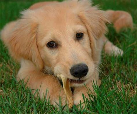 cutest golden retriever in the world cutest breeds in the world