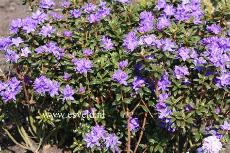Home Flower picture and description of rhododendron sapphire