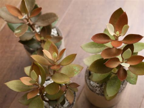 kalanchoe orgyalis copper spoons world  succulents
