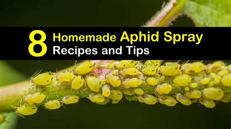 controlling aphids  homemade aphid spray recipes  tips