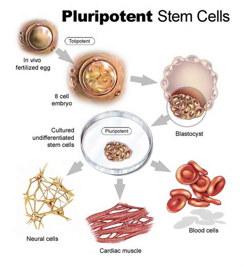 stem cell diagram stem cell cure for back spine health back