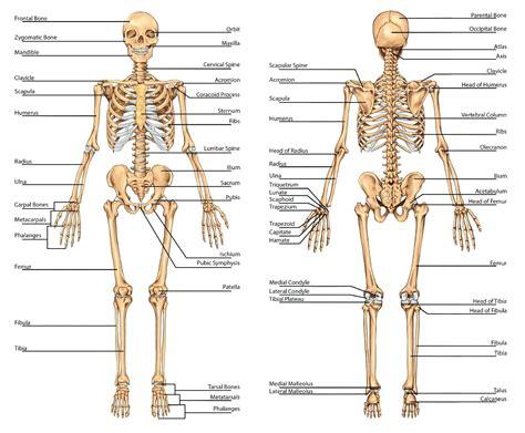 skeleton diagram labeled diagram blank skeletal diagram