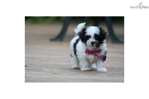 shih tzu puppies for sale in iowa city free shih tzu in iowa breeds picture