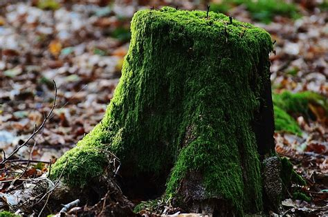 what to do with plant stump as christmas decoration outdoors tree stump moss wood 183 free photo on pixabay