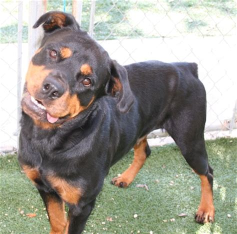 rottweiler rescue shelter rottweiler rescue contacts breeds picture