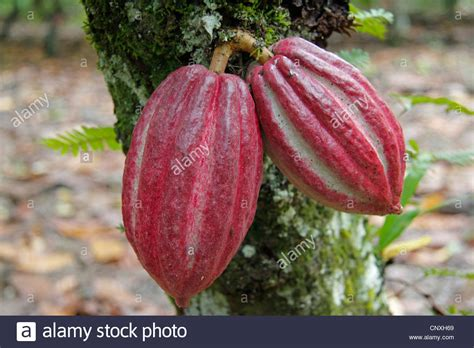 cocoa tree fruit chocolate cocoa tree theobroma cacao fruits on a