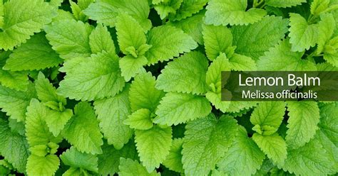 Mosquito Patio by Lemon Balm How To Care For Melissa Officinalis