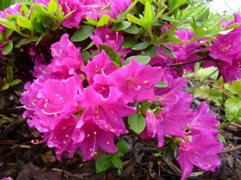 Rhododendron Sonniger Standort by Rhododendron Standort 180 Best Images About Flowers