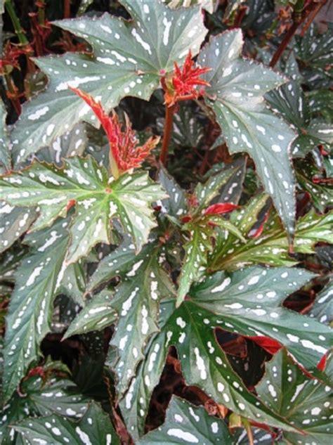 begonia sophie irene landcraft environments