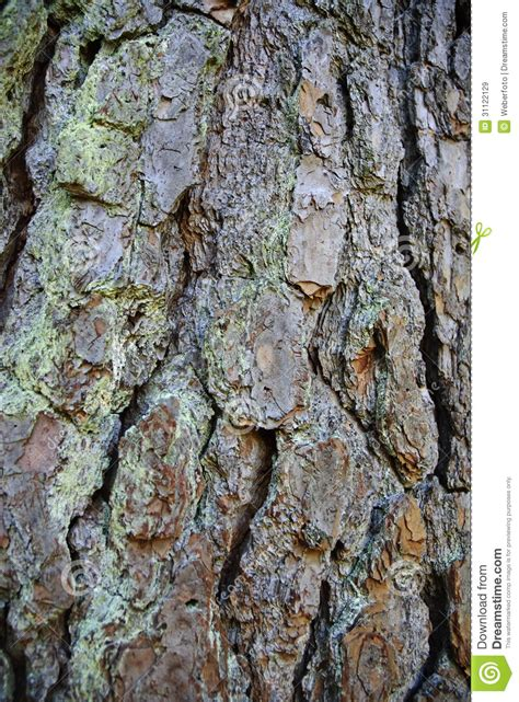 pine tree bark royalty free stock images image 31122129