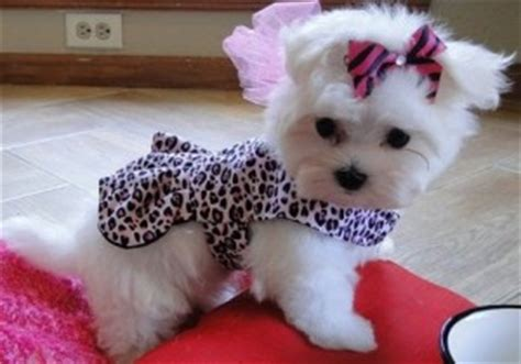yorkie puppies for sale in cabot arkansas dogs cabot ar free classified ads