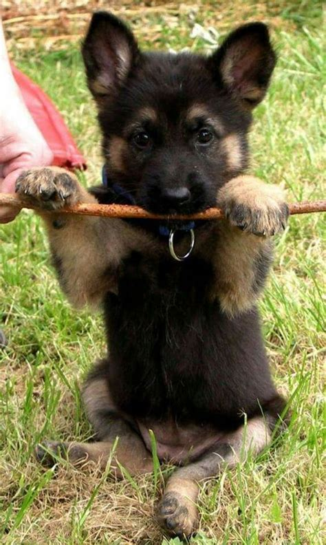 Nice Christmas Stocking For Dogs #2: German-shepherd-puppy-pics-cute-baby-stick.jpg