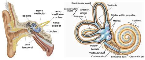 sistema vestibular neuroxonados fisioterapia neurol 243 gica e neuroci 234 ncias