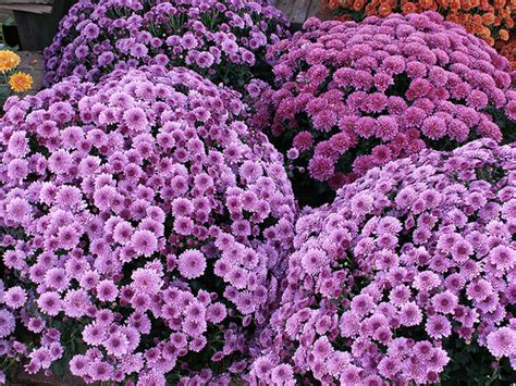 can fall mums survive frost cool colors for fall container arrangements newpro
