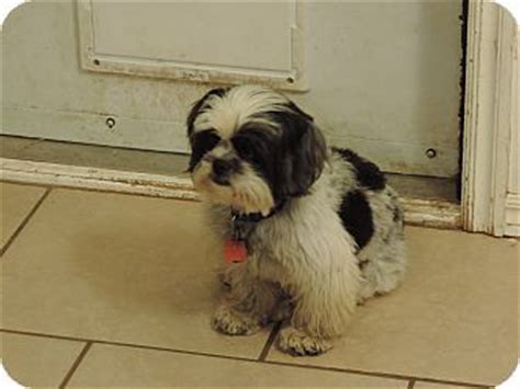 shih tzu rescue oklahoma oklahoma city ok shih tzu mix meet a for adoption pet adoption we