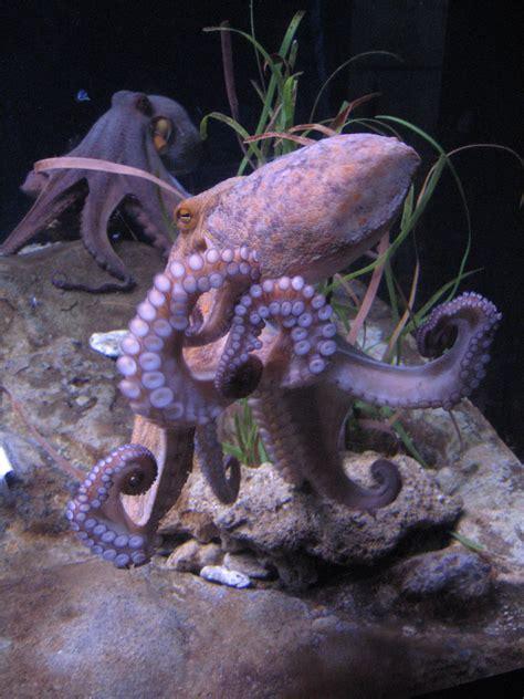 octopus l file octopus vulgaris bcn 0219 mustekala c jpg