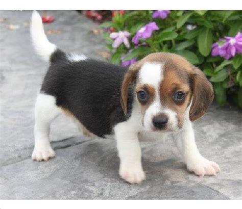newborn beagle puppies baby beagle puppies dd board