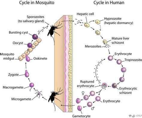 Diagram Of A Plasmodium