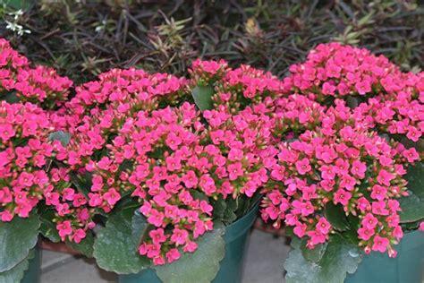piante grasse fiorite da esterno piante grasse con fiori piante grasse piante grasse