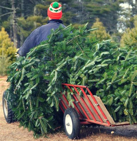 christmas tree farms in mystic ct tree farms opening this week statewide connecticut post
