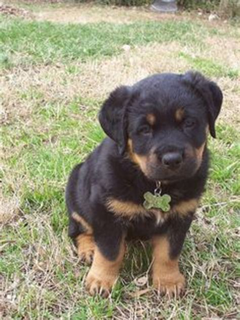 names for rottweiler rottweiler photo rottweiler puppy image jpg 23 comments rottweiler