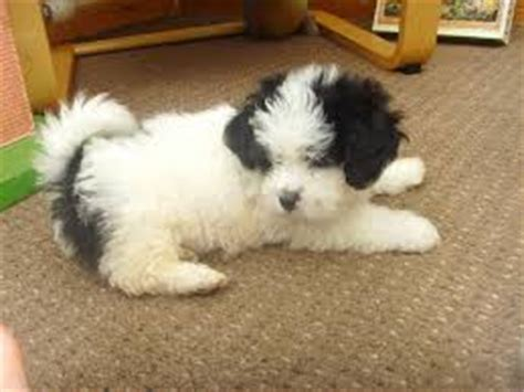 bichon shih tzu mix expectancy shichon shih tzu and bichon frise mix