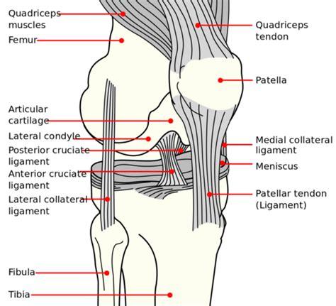 knee diagrams file knee diagram png wikimedia commons