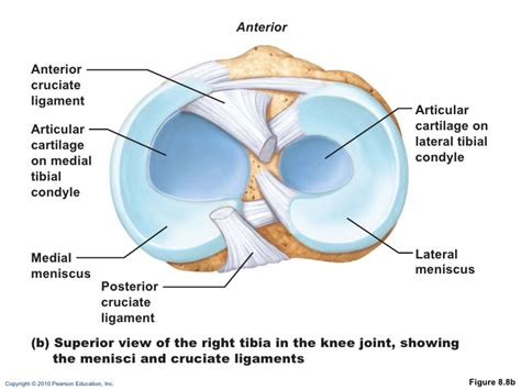sectional view of the knee joint ch 08 lecture outline b