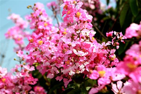 matelic image names of pink flowering trees