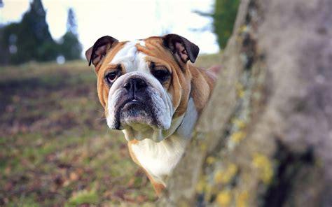 English Bulldog - My Doggy Rocks