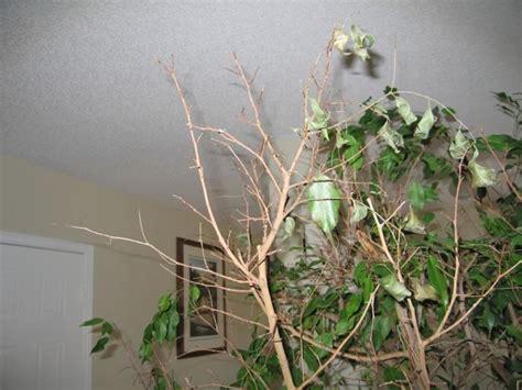 Potatura Ficus Benjamin by Ficus Benjamin Perdita Foglie Domande E Risposte Piante