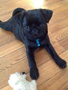 pug puppies louisiana black pug puppy black pug puppies pug black pug and