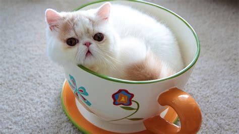 Jumbo Teacup Kitten   YouTube