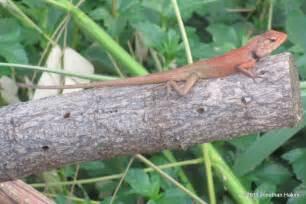 Garden Lizard garden lizard reptiles and hibians of bangkok