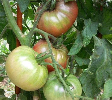 Jual Bibit Pohon Kenikir tomat jenis purple 2 benih toko benih tanaman