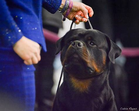 american rottweiler club local takes home major honors at american rottweiler club national specialty