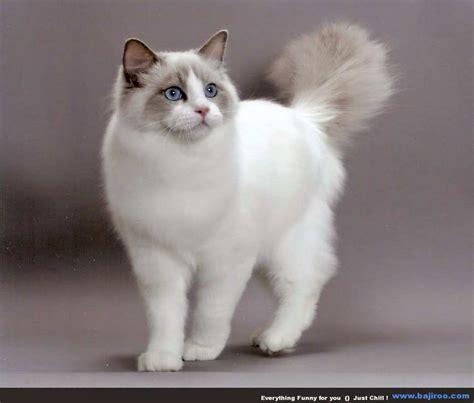 gambar wallpaper kucing lucu  gambar kucing lucu