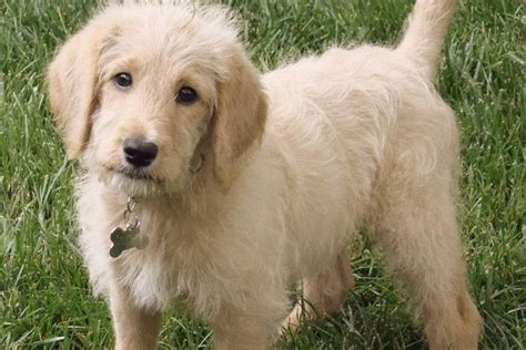 Non Shedding Labs by Laberdoodle Dogs That Don T Shed 23 Hypoallergenic Breeds Pets Pets