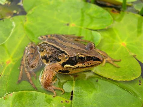 what do backyard frogs eat where do frogs live
