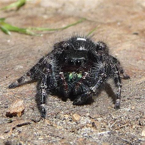Garden Jumping Spider Poisonous Black And White Jumping Spider Poisonous Images