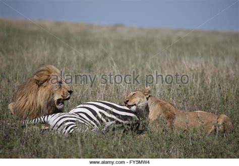 pugs fighting lions zebra stock photos zebra stock images alamy