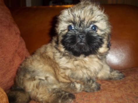 shih tzu pupies shih tzu puppy liverpool merseyside pets4homes