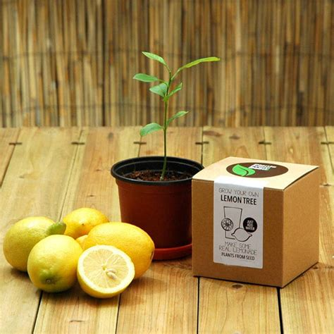 grow your own tree kit grow your own lemon tree kit by all things brighton beautiful notonthehighstreet