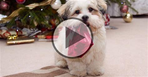 cutest shih tzu puppy shih tzu memes